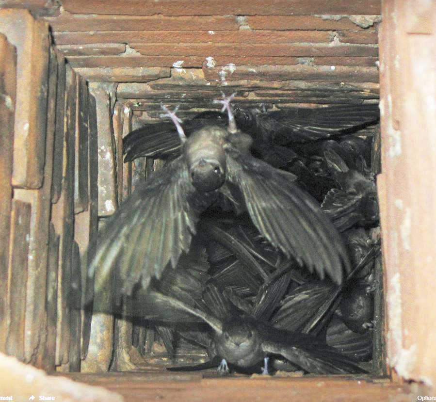 Bats making their nest in a chimney. Keep birds and animals out of your chimney with a chimney cap. We are certified chimney pros to fit your chimney with a replacement chimney cap in Ohio, Michigan and Indiana.